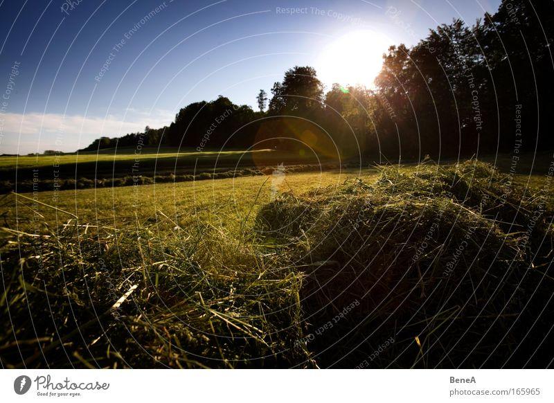 Wiese Landwirtschaft Umwelt Natur Landschaft Pflanze Himmel Wolkenloser Himmel Sonne Sonnenaufgang Sonnenuntergang Sonnenlicht Frühling Schönes Wetter Wärme