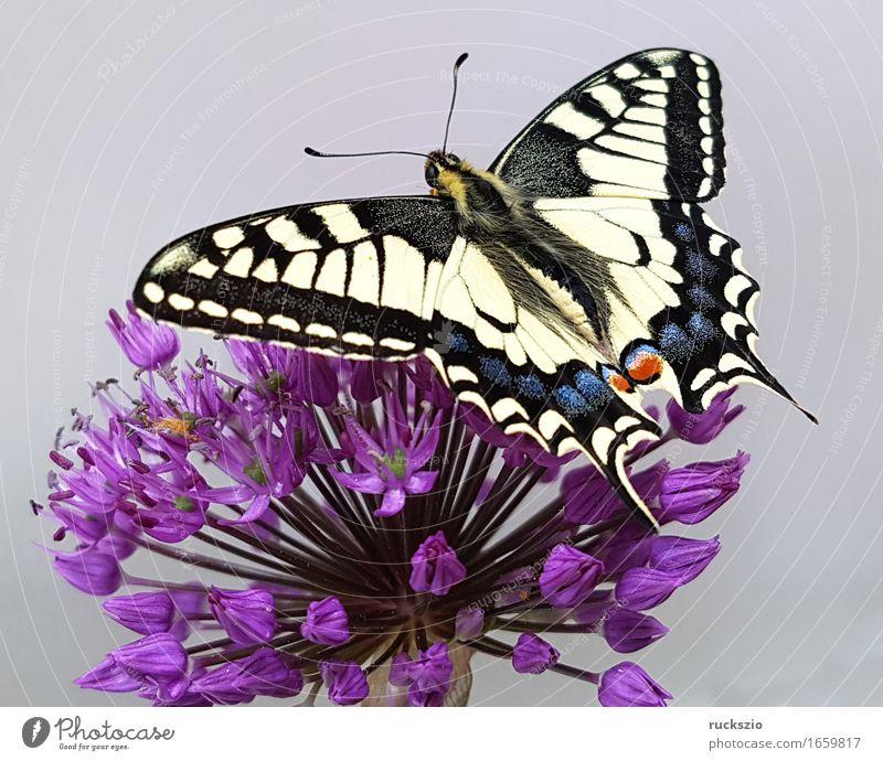 Schwalbenschwanz; Papilio; machaon; Schmetterling; Tagfalter Wildtier frei schwarz weiß Insekt Edelfalter Fleckenfalter Edelschmetterling neutral Dovetail