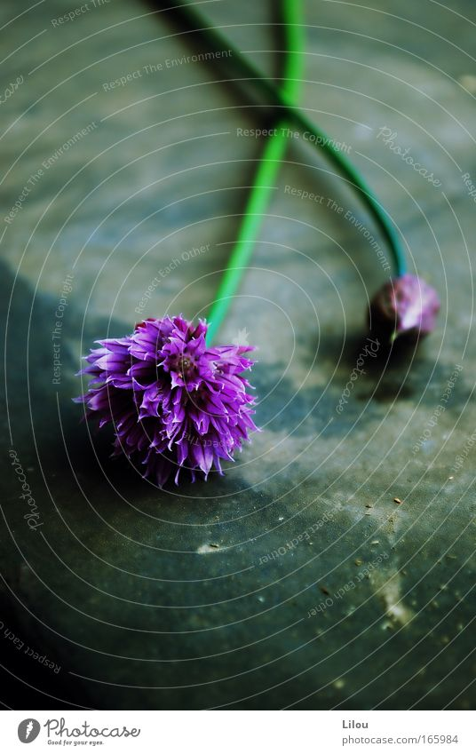 Küchenblumen. Natur grün Pflanze Blume Ernährung Lebensmittel grau Blüte liegen frisch violett Blühend Kräuter & Gewürze lecker Blütenknospen Schnittlauch