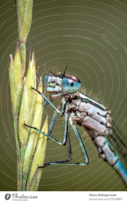 """""""Jungfer, sie gefällt mir."""" Umwelt Natur Tier Frühling Sommer Gras Wiese Seeufer Flussufer Moor Sumpf Tiergesicht Libelle Azurjungfer 1 beobachten Blick sitzen"""