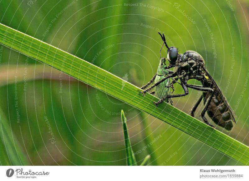 MORD vor laufender Kamera Umwelt Natur Tier Frühling Sommer Gras Grünpflanze Garten Park Wiese Wald Fliege Käfer Raubfliege 2 fangen Fressen Aggression Ekel