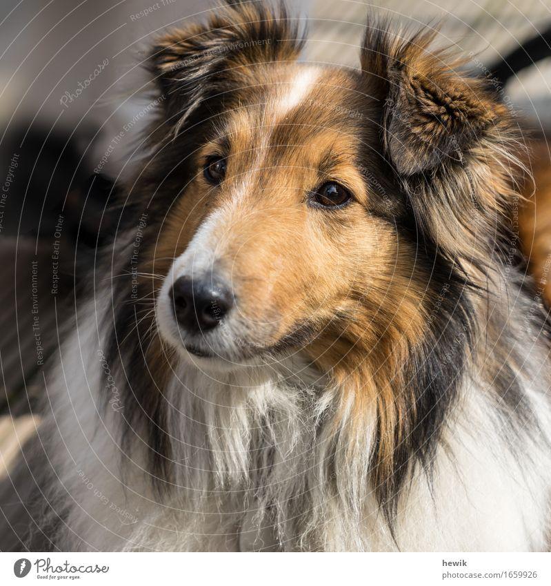 Sheltie Tier Haustier Hund 1 braun schwarz weiß Neugier Hundeportrait Farbfoto Außenaufnahme Menschenleer Tag Totale Tierporträt Blick nach vorn