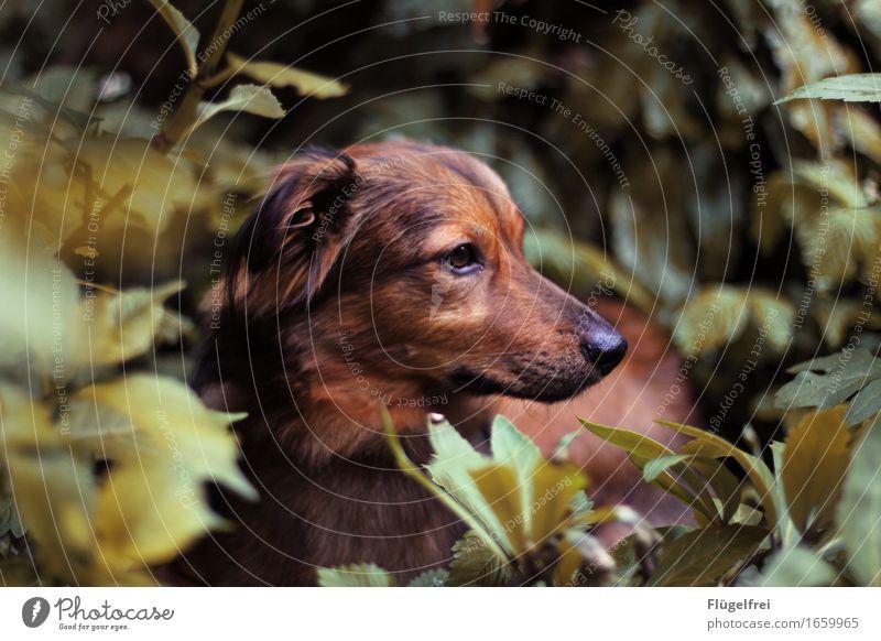 Biko, der kleine Angsthase Tier Haustier Hund 1 liegen verstecken Fuchs braun Erdbeerstrauch Pflanze Garten Natur niedlich Fell Schwache Tiefenschärfe