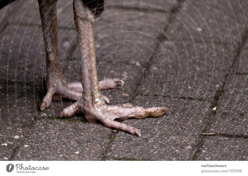 Pfauenfüße Farbfoto Außenaufnahme Nahaufnahme Detailaufnahme Menschenleer Tag Tierporträt Vogel Krallen Zoo 1 Stein stehen dünn