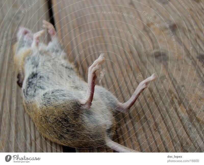 jerry garcia ist tot Säugetier Maus Tod die Katze war schneller Tom hat endlich gewonnen kleiner Nager auf dem Ruecken rumliegen kleines Pelztier