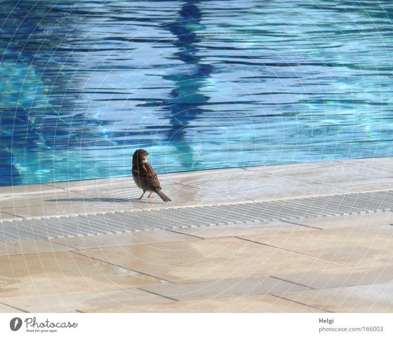 kleiner Spatz am großen Pool... Wasser weiß blau Sommer Einsamkeit Tier gelb Freiheit Wärme Zufriedenheit braun Vogel klein nass ästhetisch Schwimmbad