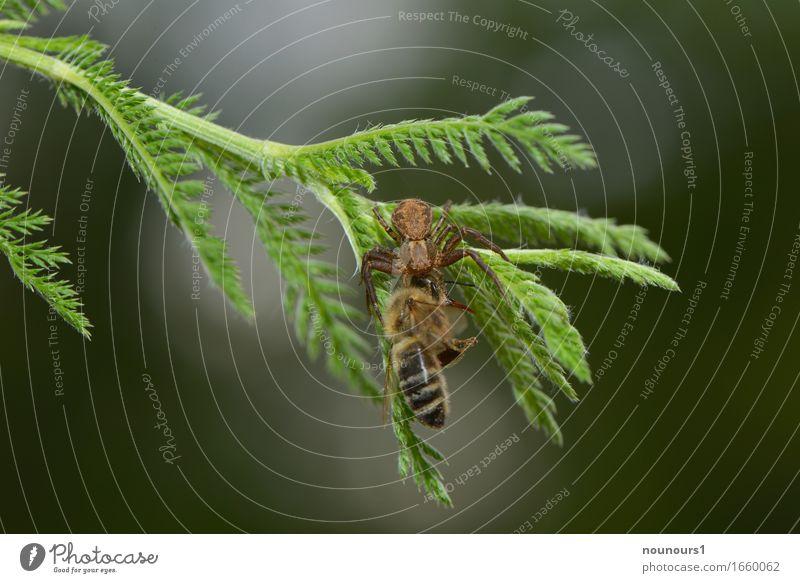 Kraftakt Natur Pflanze grün Baum Tier Wald gelb Tod braun Wildtier Flügel bedrohlich gruselig Biene Jagd hängen
