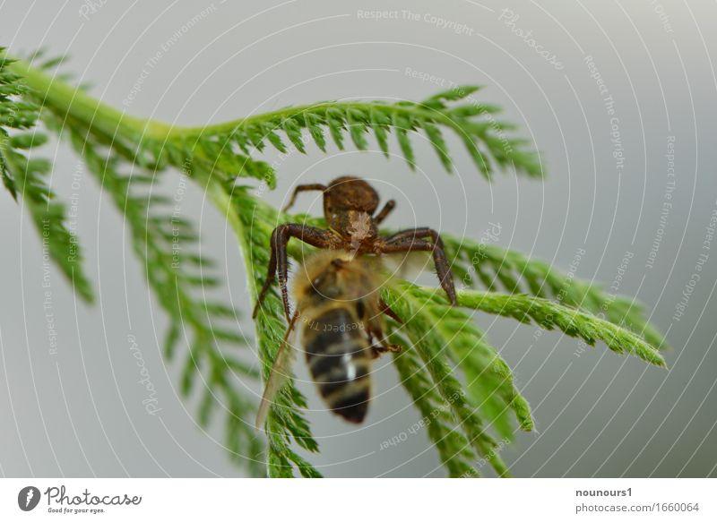 gepackt Natur Pflanze Tier Wald Wildtier Spinne Flügel 2 Fressen Jagd krabbeln springen Aggression bedrohlich gruselig klein klug Geschwindigkeit stark braun