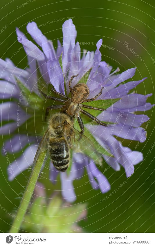 fette Beute Natur Pflanze Tier Frühling Wiese Wildtier Spinne Flügel Biene 2 Bewegung Blühend fangen hängen Jagd kämpfen krabbeln Aggression bedrohlich gruselig
