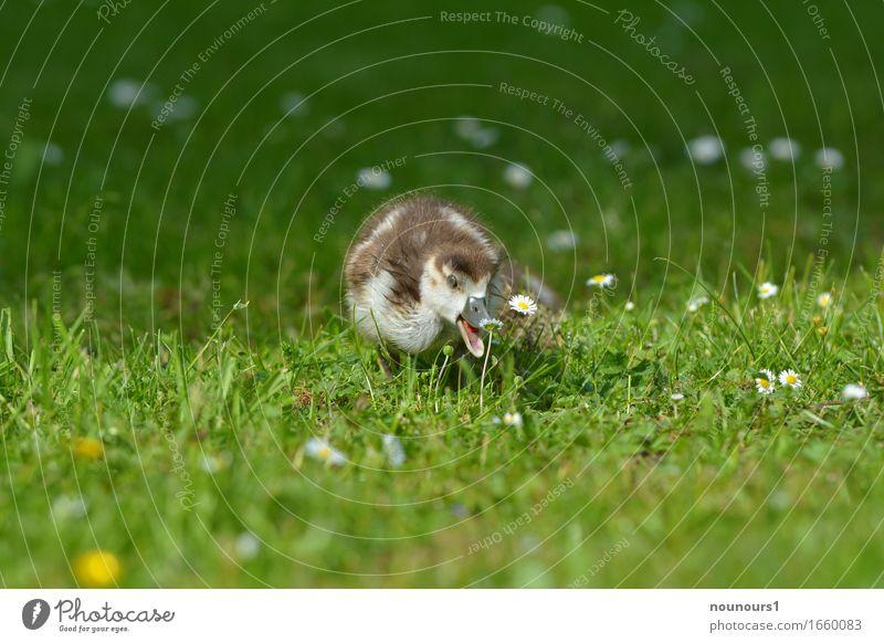 platz da Natur Pflanze Tier Gras Blüte Park Wiese Wildtier nilgans nilgänse nilgansküken 1 Tierjunges Bewegung rennen Blick frech frei Fröhlichkeit Glück