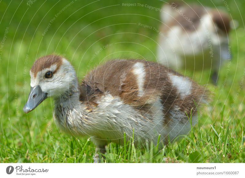 high Landschaft Pflanze Tier Schönes Wetter Gras Wildtier nilgans nilgänse nilgansküken 2 Tierjunges rennen Bewegung entdecken Fressen gehen laufen stehen