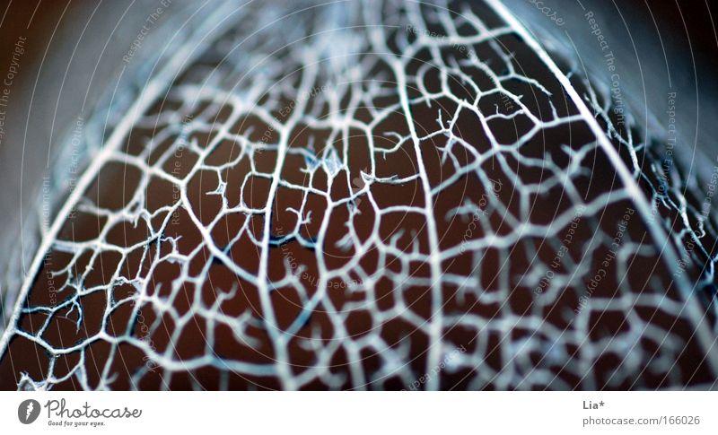 made from silver II Pflanze Blatt Blüte glänzend Netzwerk Makroaufnahme silber Gedanke Vernetzung Gehirn u. Nerven zerbrechlich Kostbarkeit Physalis