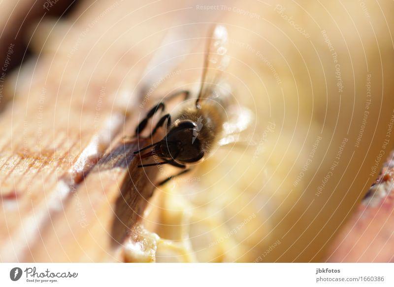 böser Blick [?] Lebensmittel Ernährung Umwelt Natur Tier Biene 1 trendy Imkerei Insekt Honig fleißig Wachs Freizeit & Hobby Außenaufnahme Nahaufnahme