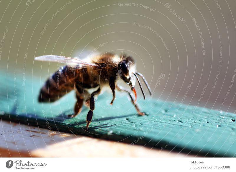 schnell noch Sonne tanken! Lebensmittel Ernährung Umwelt Natur Tier Nutztier Biene Honigbiene Freude Glück Fröhlichkeit Zufriedenheit Lebensfreude