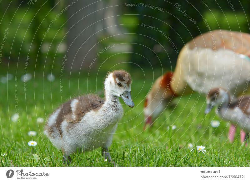 kleine Mann ganz groß Pflanze Tier Wildtier nilgans nilgänse nilgansküken 3 Tiergruppe Tierjunges Bewegung Blühend gehen laufen Fröhlichkeit Glück lustig