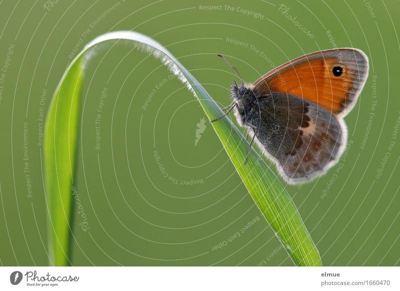 bergauf Natur Tier Gras Halm Wiese Schmetterling Wiesenvögelchen Heufalter Edelfalter Tagfalter Aufschwung aufwärts elegant schön klein grün orange Lebensfreude