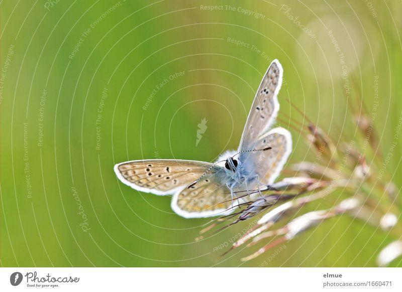Starterlaubnis erteilt! Gras Wiese Schmetterling Flügel Tagfalter Bläulinge Fühler Facettenauge Muster Flugzeug beobachten warten klein nah Neugier niedlich