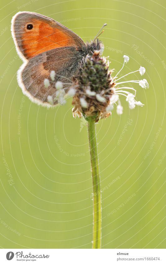 Der Dekorateur Tier Schönes Wetter Gras Samen Samenpflanze Wiese Schmetterling tagfalter Edelfalter Wiesenvögelchen Heufalter Augenfalter Blühend Glück schön
