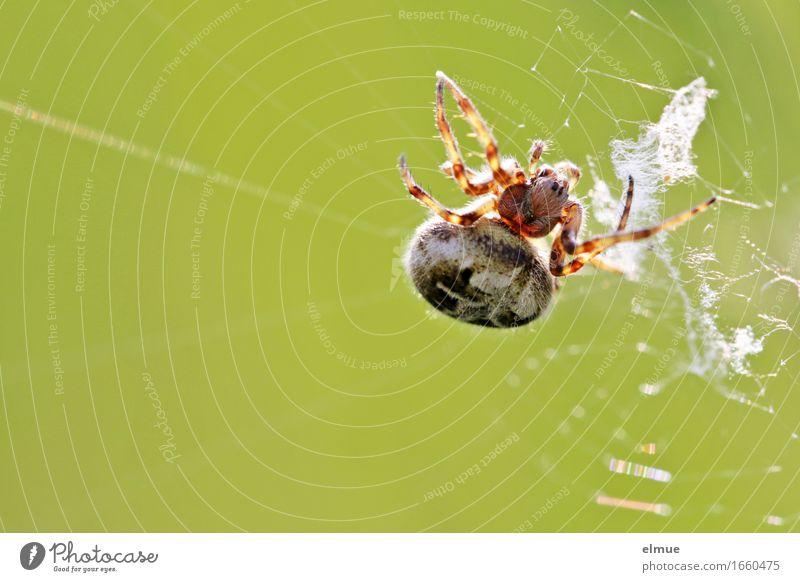 vernetzt Natur Tier Spinne Eichenblattspinne Spinnennetz Gliederfüßer Netz Kugel Hinterhalt beobachten warten bedrohlich dick Ekel gruselig listig nah klug grün