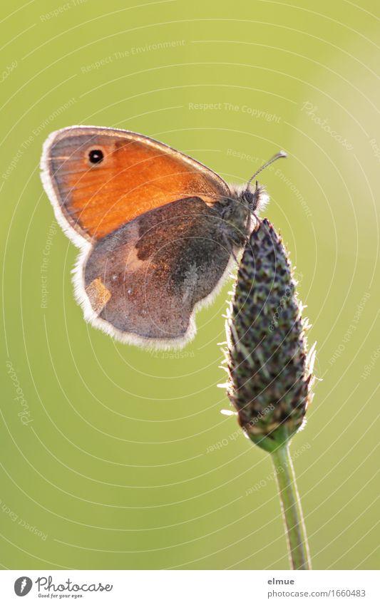 ... ohne Tischdeko Natur Pflanze Tier Schönes Wetter Blüte Wiese Schmetterling Heufalter Wiesenvögelchen Tagfalter Edelfalter Fühler Samen verblüht Glück hell