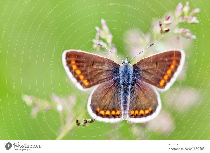 zarte Versuchung Natur Tier Gras Wiese Schmetterling Bläulinge Tagfalter Fühler Erholung Fressen elegant schön klein nah feminin grün Glück Lebensfreude