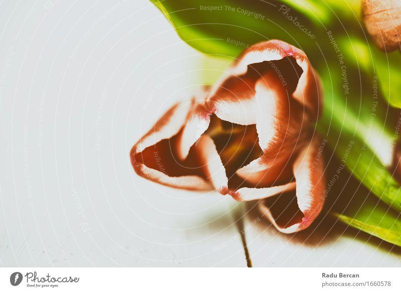 Rote Tulpe nah oben im Frühjahr Umwelt Natur Pflanze Frühling Blume Blatt Blüte Blühend frisch schön natürlich retro mehrfarbig grün rosa rot weiß