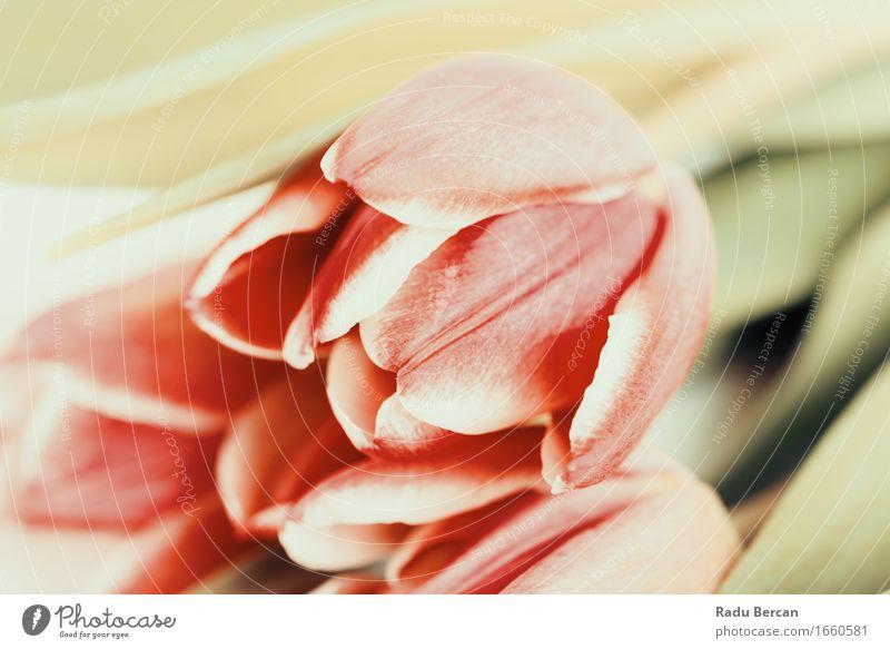 Rote Tulpen schließen oben Natur Pflanze Farbe grün schön Blume rot Blatt Blüte Frühling Liebe natürlich frisch retro Blühend Romantik