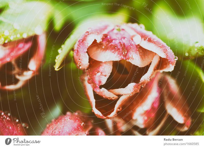 Frische rosa Tulpen mit Wassertropfen Umwelt Natur Pflanze Frühling Blume Blatt Blüte Garten Blühend frisch schön Sauberkeit mehrfarbig grün rot Liebe Romantik