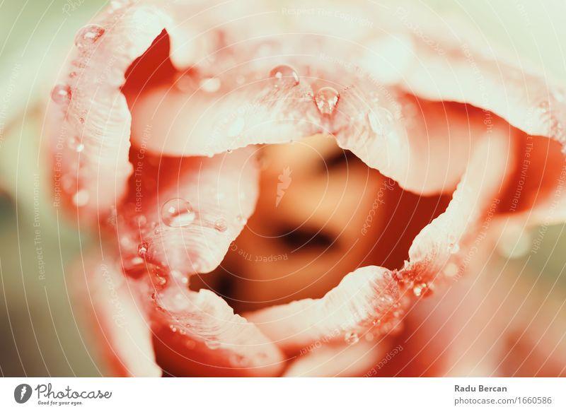 Nasse rote Tulpe-Blumenblätter mit Wassertropfen Umwelt Natur Pflanze Frühling Blüte Blühend frisch schön nass natürlich retro Sauberkeit mehrfarbig rosa