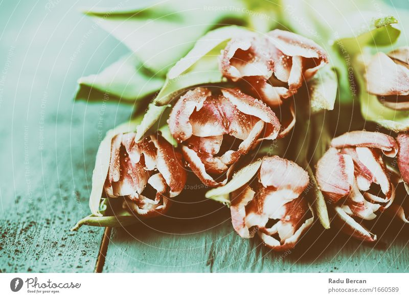 Rosa Tulpen auf Türkis Wood Table Umwelt Natur Pflanze Wassertropfen Frühling Blume Blatt Blüte Blühend einfach frisch schön nah nass Sauberkeit blau mehrfarbig