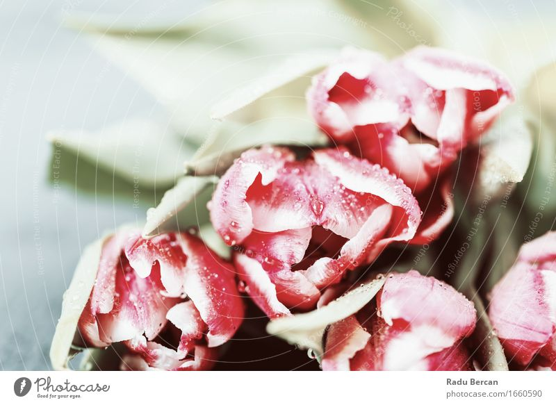 Nasse Tulip Flowers im Frühjahr Natur Pflanze blau Farbe grün schön Blume rot Blatt Blüte Frühling Liebe natürlich Garten rosa frisch