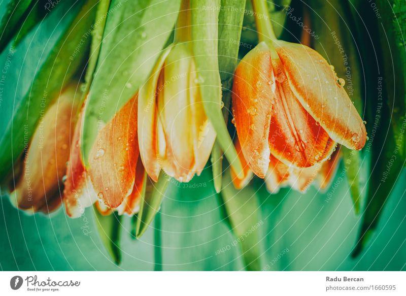 Draufsicht von frischen nassen Tulpen auf Tabelle Natur Pflanze Farbe grün schön Blume rot Blatt Umwelt Blüte Frühling Garten oben orange Wassertropfen