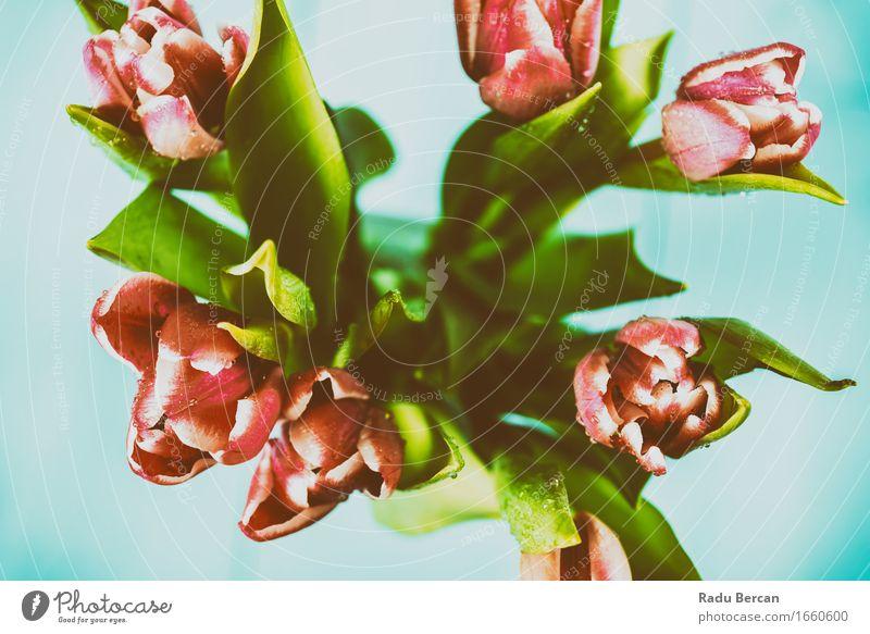 Nasse rosa Tulpen-Blumen im Vase Natur Pflanze blau Farbe schön grün rot Blatt Umwelt Blüte Frühling Blühend Blumenstrauß Leidenschaft