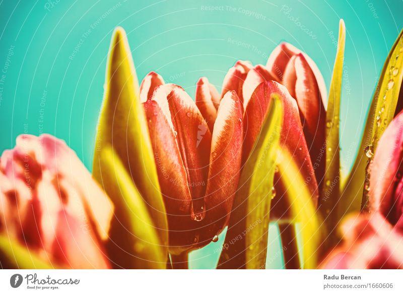 Nasse rosa Tulpe-Blumen Natur Pflanze blau Farbe schön grün rot Blatt Umwelt Blüte Frühling Liebe Garten Park retro