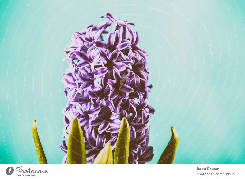 Gemeinsame niederländische Gartenhyazinthe (Hyacinthus Orientalis) Natur Pflanze blau Farbe schön grün Blume Blatt Umwelt Leben Blüte Frühling Blühend violett
