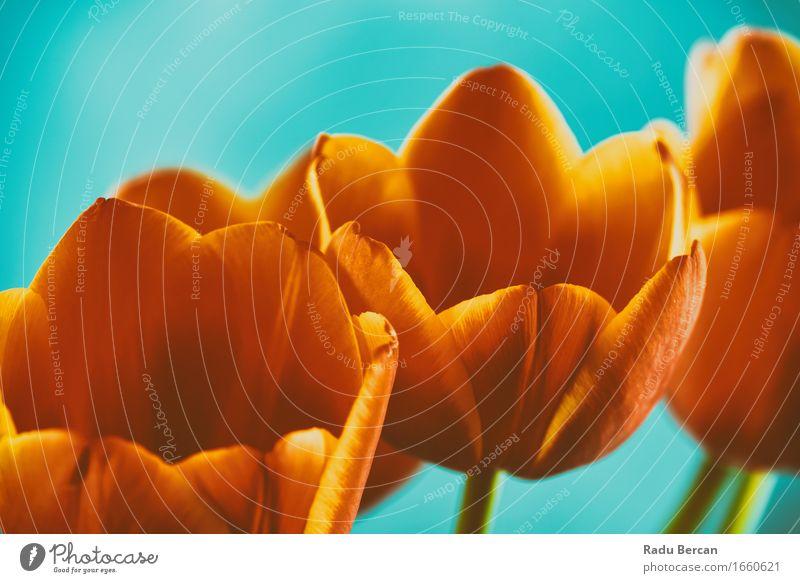 Rote und orange Tulpen Blumen Bouquet Natur Pflanze Frühling Blüte Blühend frisch schön retro blau rot türkis Leidenschaft Liebe Romantik Farbe Gefühle rein