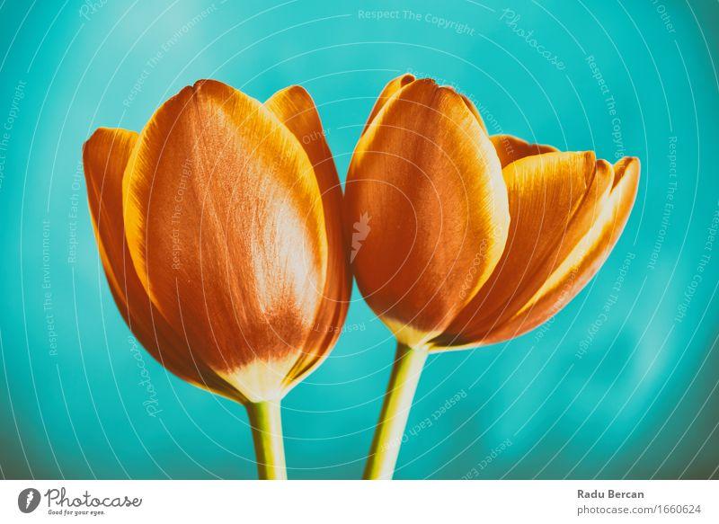 Rote und orange Tulpen-Blumen Natur Pflanze Frühling Blüte Blühend genießen Liebe einfach Fröhlichkeit schön retro blau rot türkis Gefühle Frühlingsgefühle