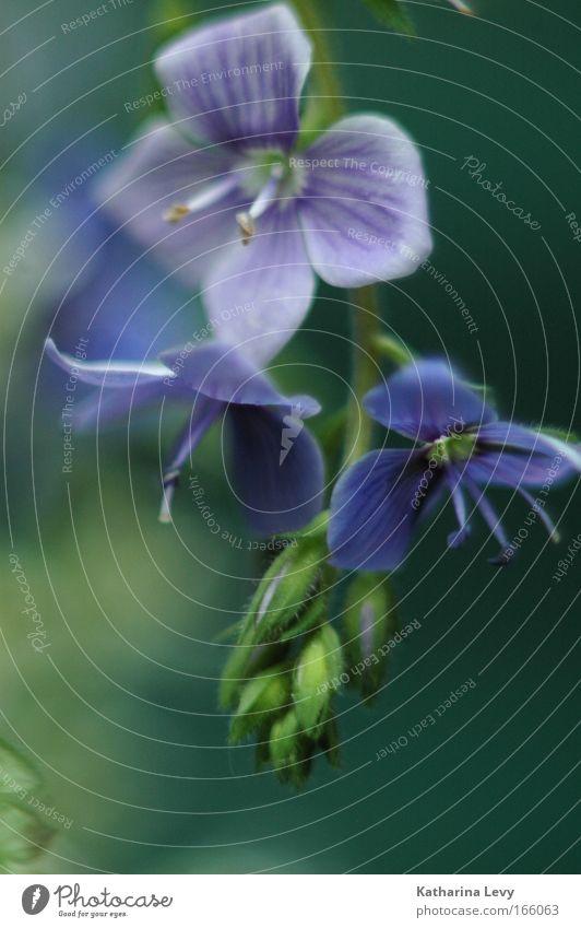 little empire Natur Blume grün blau Pflanze ruhig Blüte Frühling Umwelt ästhetisch violett Sehnsucht Schönes Wetter Wildpflanze