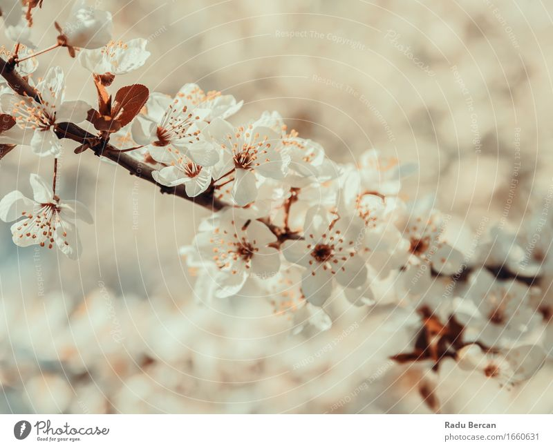 Weißer Baum blüht Frühlings-Blüte Umwelt Natur Pflanze Blume Blatt Blühend schön braun orange weiß Frühlingsgefühle Farbe rein Nahaufnahme Ast Frühlingsblume