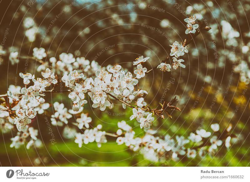 Weißer Apfelbaum blüht Frühlings-Blüte Frucht Umwelt Natur Landschaft Pflanze Baum Blume Blatt Wald Blühend schön retro braun grün weiß Frühlingsgefühle