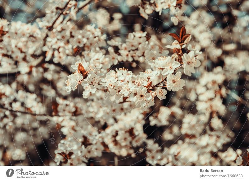 Weißer Apfelbaum blüht Frühlings-Blüte Natur Pflanze Farbe schön weiß Baum Blume rot Blatt Wald Umwelt Garten Park frisch