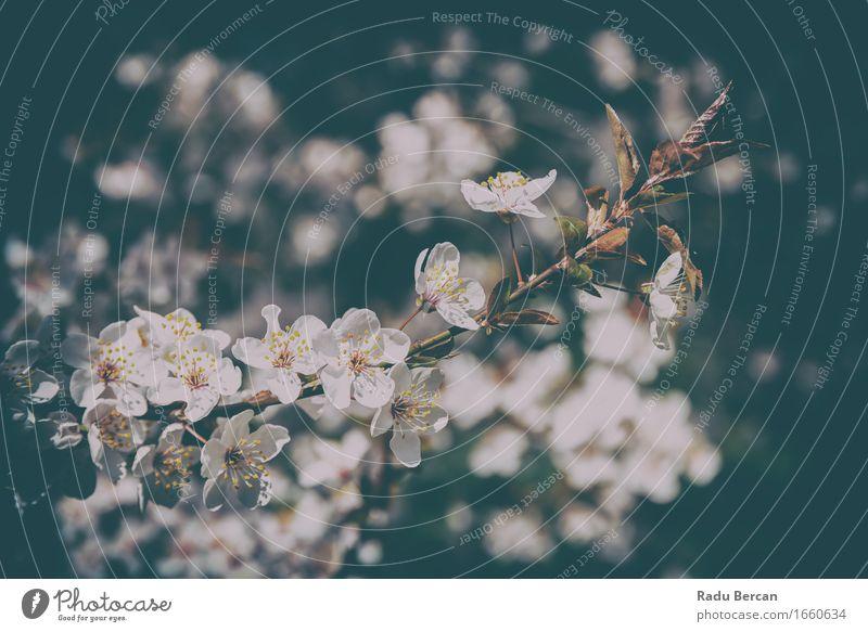 Weißer Apfelbaum blüht Frühlings-Blüte Umwelt Natur Pflanze Baum Blume Blatt Wald Blühend schön braun schwarz weiß Frühlingsgefühle Farbe Frühlingsblume