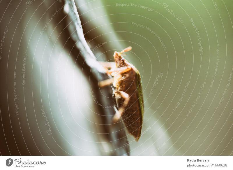 Schild-Wanze auf einem Baum-Makro Natur grün Tier Umwelt grau braun Insekt gruselig skurril Käfer Baumwanze