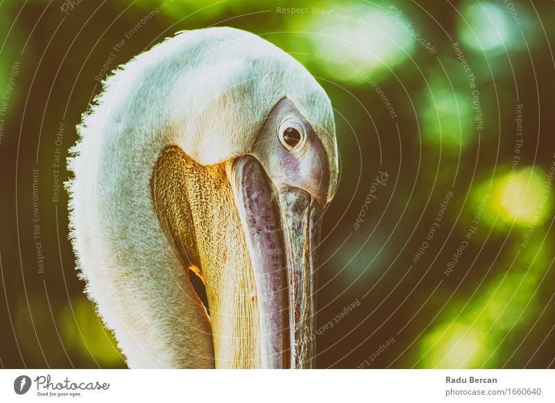 Wildes Pelikan-Porträt Natur Farbe schön grün weiß Tier Vogel orange rosa Kopf wild Wildtier Freundlichkeit nah Tiergesicht Zoo