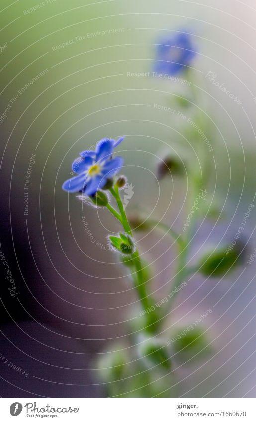 AST 9 | Zarte kleine blaue Blümchen Natur Pflanze grün Blume Wachstum Blühend violett zart Blütenknospen sanft vertikal Verlauf zierlich