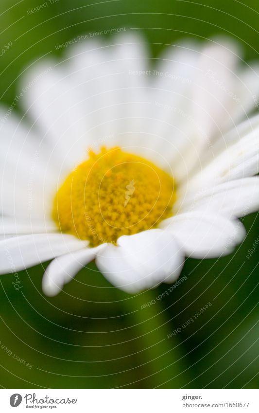 AST9 | Blümchen aus Alsfeld Pflanze Blume Blatt Blüte Topfpflanze gelb grün weiß klein Blütenblatt Stempel 1 zart weich Lensbaby diffus Farbfoto mehrfarbig