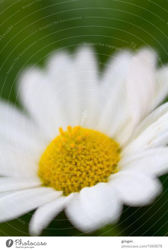 AST 9 | Margarite Natur Pflanze Frühling Blume gelb grün weiß Stempel Blütenblatt Lensbaby Unschärfe 1 zart weich Farbfoto mehrfarbig Außenaufnahme Nahaufnahme