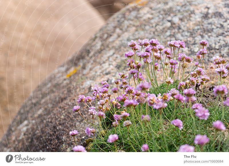 Felsenblüten Ferien & Urlaub & Reisen Pflanze Blume Gras Blüte Wildpflanze Ploumanach Bretagne Cote de Granit Rose Frankreich Europa Menschenleer Stein Blühend