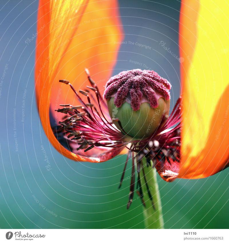 Mohn Natur blau Pflanze schön grün Sommer Blume schwarz gelb Wärme Blüte Frühling Garten außergewöhnlich rosa orange