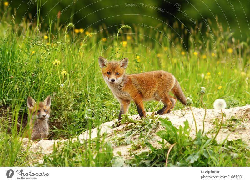 Süßes Fuchsjunges Hund Natur grün weiß rot Tier Gesicht Tierjunges Wiese Gras klein braun wild Wildtier Baby niedlich